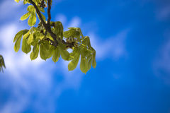 Sky. Blue sky in nice sunny summer day tree Stock Photography