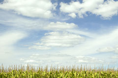 Sky Above Corn Tassels Royalty Free Stock Photo