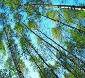 Sky attraction. Forests trees on the blue sky background Stock Photos