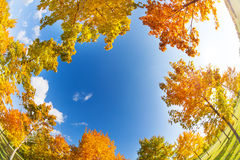 Sky and autumn maple trees on sunny day Stock Photography