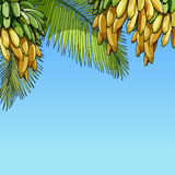 Sky background with palm leaves and bunches of bananas Stock Photo
