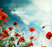 Sky background with red poppies flowers Royalty Free Stock Photo