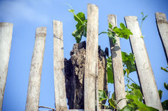 Sky, bamboo fence, vegetables Royalty Free Stock Photos