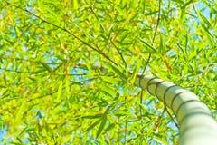 Sky bamboo interloper Royalty Free Stock Image