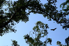 On the sky. Bat on the sky in the fores, thailand Royalty Free Stock Image