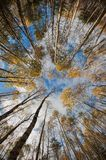 Sky in birch forest. Stock Photography