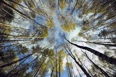 Sky in birch forest. Royalty Free Stock Photo