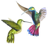 Sky bird colibri in a wildlife by watercolor style isolated. Wild freedom, bird with a flying wings. Aquarelle bird for background, texture, pattern, frame Royalty Free Stock Images