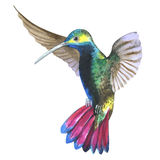 Sky bird colibri in a wildlife by watercolor style isolated. Stock Photos