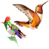 Sky bird colibri in a wildlife by watercolor style isolated. Wild freedom, bird with a flying wings. Aquarelle bird for background, texture, pattern, frame Stock Photography