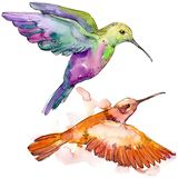 Sky bird colorful colibri in a wildlife by watercolor style isolated. Wild freedom, bird with a flying wings. Aquarelle bird for background, texture, pattern stock photography