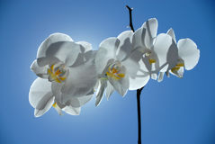 Sky blossom. Orchid with back light Royalty Free Stock Images