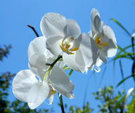 Sky blossom. Orchid with back light Royalty Free Stock Image