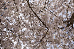 A Sky of Blossom. Royalty Free Stock Photography