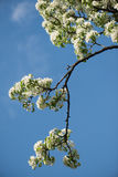 Sky blue beautiful apple blossom tree. Background Royalty Free Stock Images