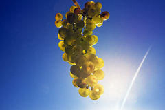 Sky blue bunch of green ripe grapes Stock Images