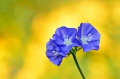 Sky blue Cluster vine Stock Photography