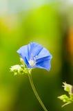Sky Blue Cluster Vine. (Jacquemontia Pentantha Stock Images