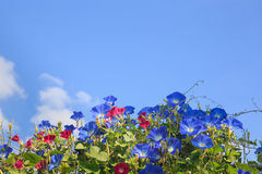 Sky blue morning glory Stock Image