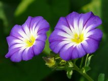Sky Blue Morning Glory Royalty Free Stock Images