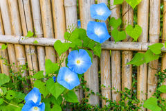 Free Sky Blue, Morning Glory, Heavenly Blue Royalty Free Stock Photography - 88170567