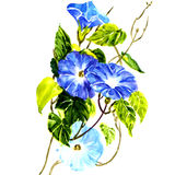 Sky blue morning glory isolated. Watercolor painting on white background stock illustration