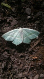 Sky blue moth on rough ground Royalty Free Stock Image