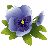 Sky Blue Pansy & Bud. Sky blue pansy and bud on a white background. EPS8 compatible Royalty Free Stock Photo