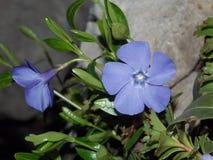 Sky blue Vinca. Royalty Free Stock Photo