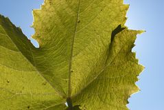 Sky blue wine leaf Royalty Free Stock Photography