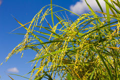 Sky bouquet grain Stock Photos