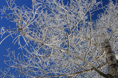 The sky through branches. The blue sky through branches of trees in hoarfrost Royalty Free Stock Photography
