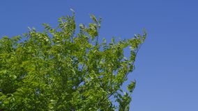 Branches swaying in the wind royalty free stock photo