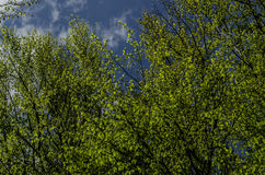 Sky. Clearance of heaven among the treetops Royalty Free Stock Photo