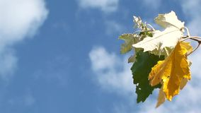 Sky and colored leaves. Close-up. Branch with colored leaves against the sky with clouds stock video footage