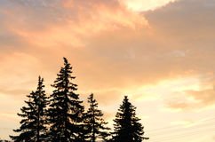 Sky colored with sunset and fir-trees silhouette Stock Photography