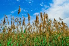 Sky, Crop, Grass Family, Field royalty free stock photography