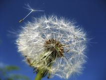 Sky, Dandelion, Flower, Close Up Stock Photography