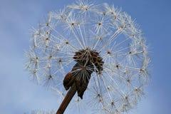 Sky, Dandelion, Flower, Plant Royalty Free Stock Images