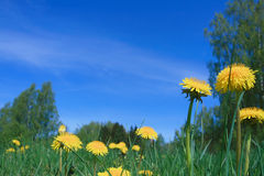 Sky and dandelions Royalty Free Stock Image