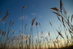 Sky with dry grass Royalty Free Stock Photography