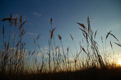 Sky with dry grass Royalty Free Stock Photo