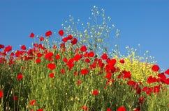 sky för 3 vallmor Royaltyfria Bilder