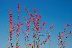 sky för bakgrundsblommared Arkivbild