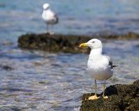 sky för seascape för seagull för bakgrundsnaturrock sittande Royaltyfri Bild