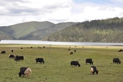 Sky far mountain and yak grazing on the grassland royalty free stock photo