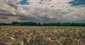 Sky, Field, Crop, Grass Family royalty free stock image