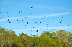 Sky Filled with Crows Royalty Free Stock Photos