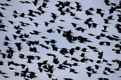 Sky of Birds Royalty Free Stock Images