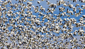 A Sky Filled With Snowgeese Royalty Free Stock Photo